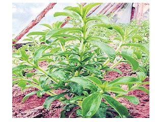 Benih Tanaman Stevia aakamis ternak tanaman herba stevia