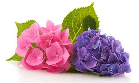 imagenes de hortencias blancas cat 225 logo de flores un dise 241 o para cada ocasi 243 n