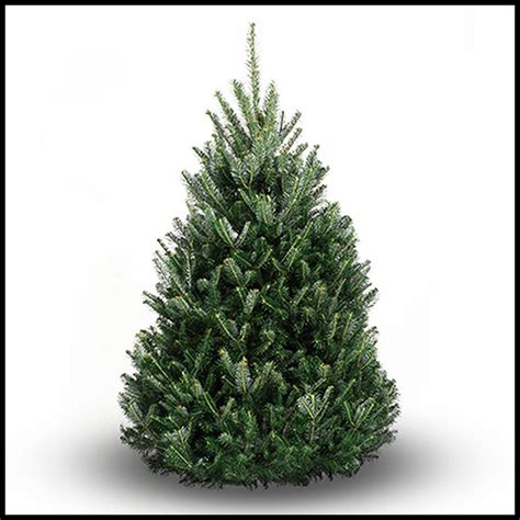 balsam fir christmas tree real christmas tree