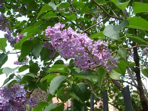 pianta con fiori viola a grappolo fiori a grappoli violacei stratfordseattle