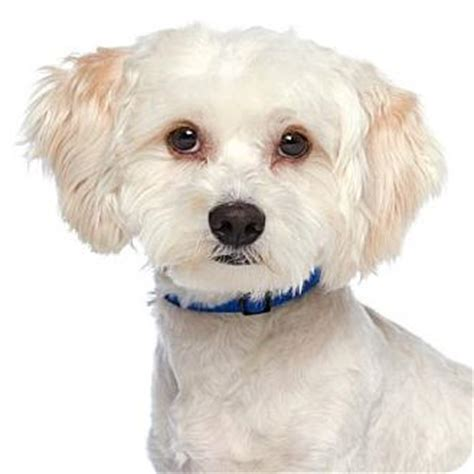 Maltese Do They Shed by Los Angeles Ca Maltese Poodle Miniature Mix Meet