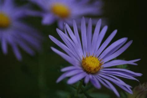 Purple Aster Flowers Image Jpg Hi Res 720p Hd Aster Flower Gallery