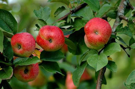 apple trees all amazing facts