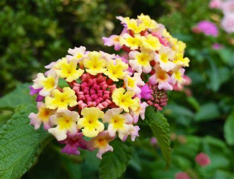 Petit Arbuste Fleuri lantana camara petit arbuste fleuri