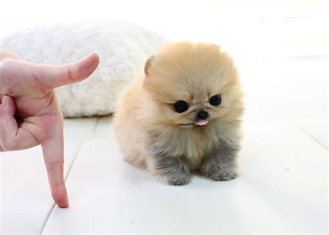 pomeranian teacups for sale adorable micro teacup pomeranian puppy for sale l 235 tzebuerg puppies