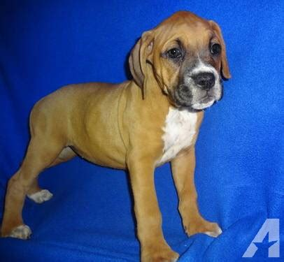 boxer puppies available now sugar is an akc registered boxer puppy available for adoption now for sale in rolla