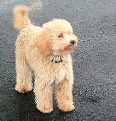 mini labradoodles rochester ny miniature goldendoodle puppies for sale miniature