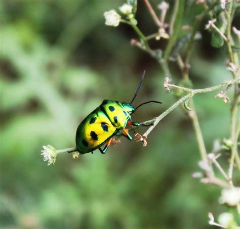 bug acis vplants parthenium hysterophorus