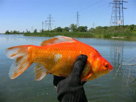 colorful goldfish colorful goldfish