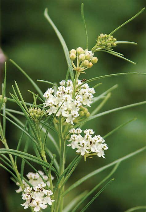 homegrown milkweeds missouri department  conservation