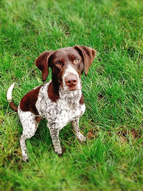 pointer breeds pointer pointing www pixshark images galleries with a bite