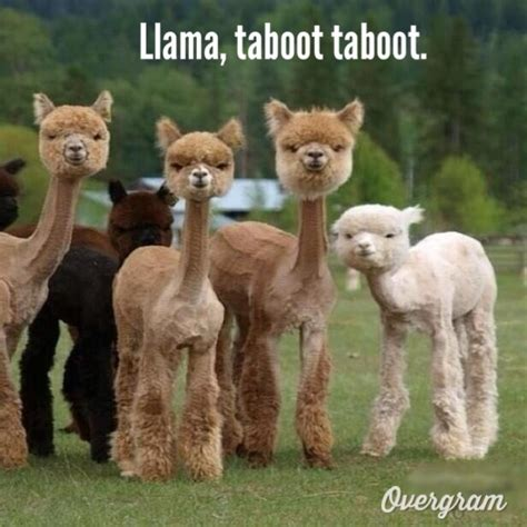 Shaved Llama Meme - llama taboot taboot phish meme meme world pinterest