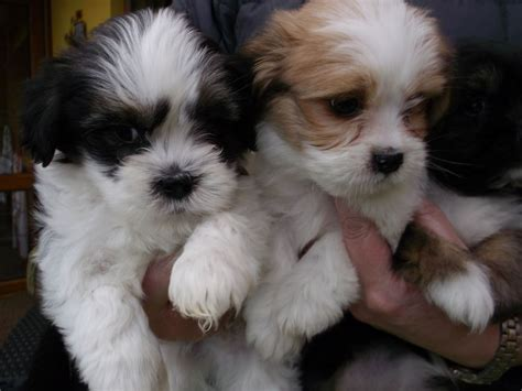 lhasa apso puppy adorable fluffly lhasa apso puppies coventry west midlands pets4homes