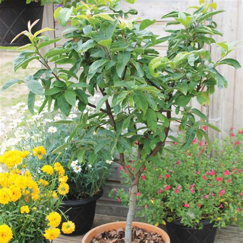 Patio Fruit Plants by Medlar Sibley S Patio Fruit Tree D T Brown Fruit Trees