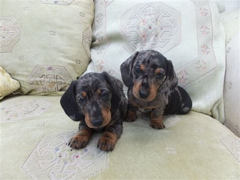haired dapple dachshund puppies miniature smooth silver dapple dachshund puppies aberaeron ceredigion pets4homes