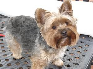 haircut for morkies yorkie haircuts pictures image search results dog breeds