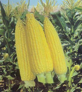 Pakan Ternak Dari Tanaman Jagung pola hidup sehat manfaat jagung