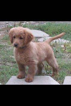 grown golden cocker retriever for sale 1000 images about favorite breeds on puppys maltese and