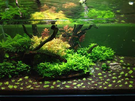layout aquascape pennywort brazilian aquatic plant google search