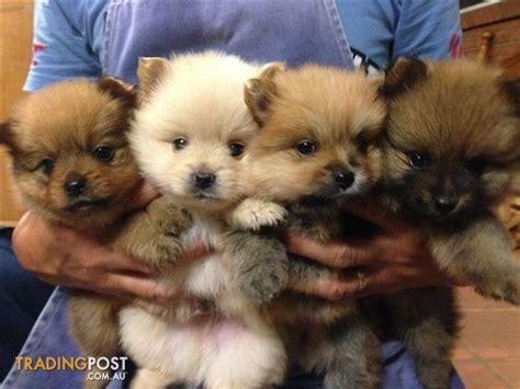 pomeranian puppies for sale nsw purebred pomeranian puppies for sale in bonnyrigg heights nsw purebred pomeranian
