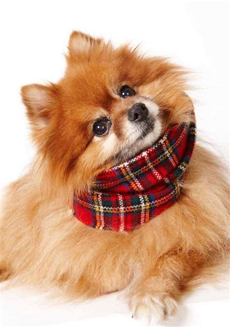 cesar millan pomeranian 425 best pomeranians images on pom poms pomeranians and pomeranian puppy