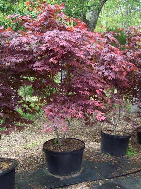 maple tree price jmtf pricelist