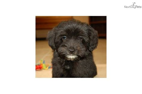 pomapoo puppy meet a poma poo pomapoo puppy for sale for 350 pomapoo puppies