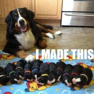 Do Bernese Mountain Shed by 17 Best Images About Bernese Mountain Dogs On