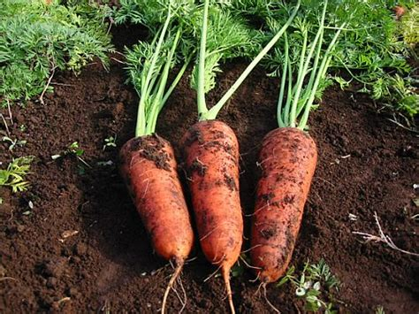 A Red Colored Root Vegetable - how to select or choose the best carrots and other vegetables