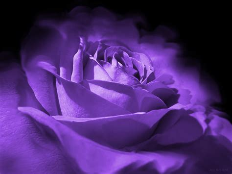 purple and black rose flower photograph by jennie marie schell