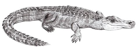realistic crocodile drawing www pixshark com images