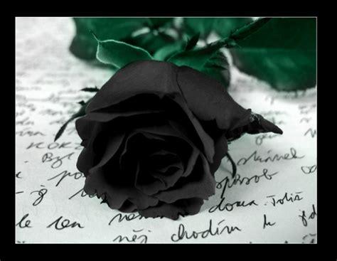 wallpaper bunga rose hitam gambar mawar bunga mawar