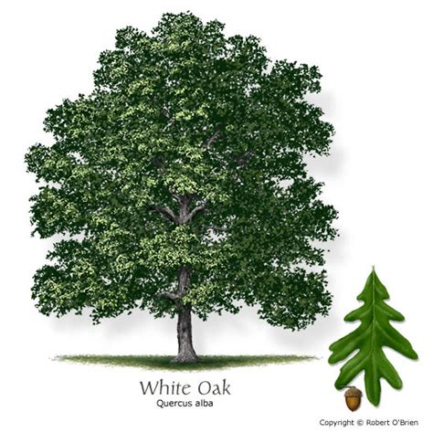 s day in oak san timberland management tree of the week white oak
