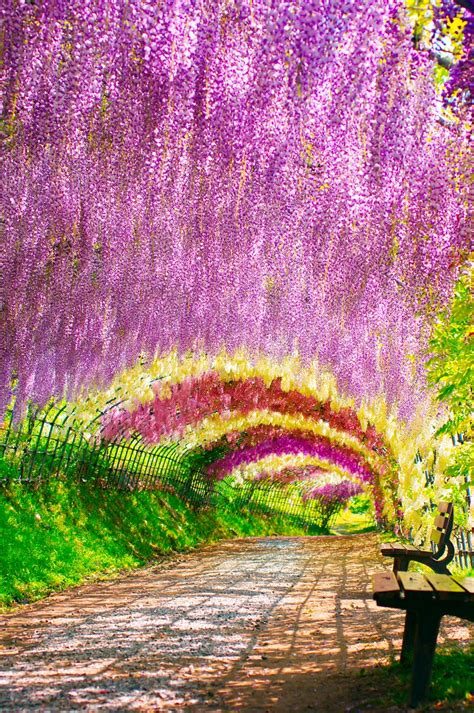 japan flower tunnel wisteria