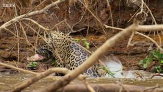 What Animals Do Jaguars Eat What Animals Do Jaguars Eat Quora
