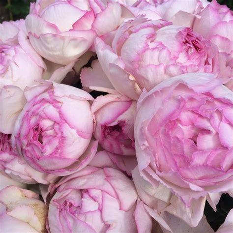 pink peonies nursery yvespiagetrose quot pink yves piaget quot garden rose oooooh