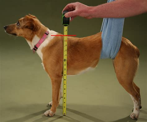 can you use and shoulders on dogs wheelchairs for handicapped dogs built quality by ruff rollin measure your