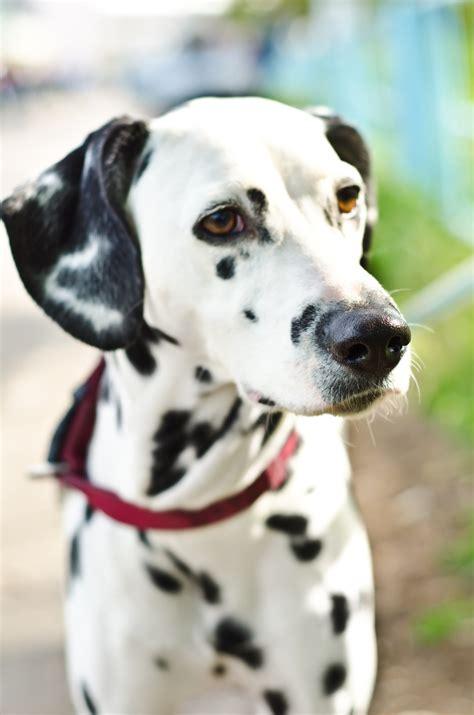 dalmatian puppies craigslist image gallery teacup dalmatian