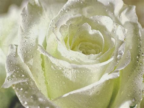 wallpaper bunga ros putih kumpulan gambar bunga mawar putih yang cantik indah