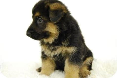 pastor aleman puppy pastor aleman