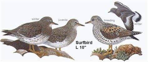 surfbird oregon shore birds