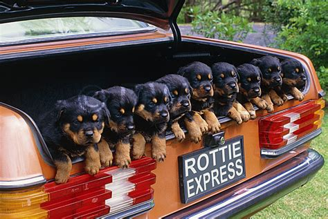 rottweiler in car rottweiler pups in the back of a mercedes sports car