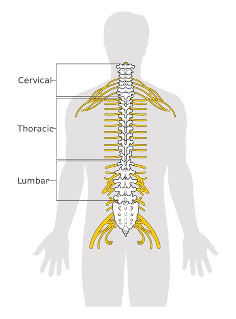section of the spine that corresponds to the lower back the spinal cord boundless anatomy and physiology