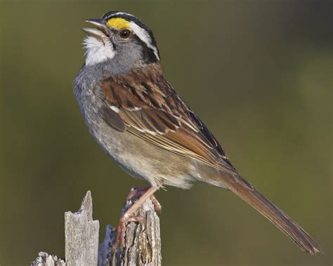 white throated sparrow audubon field guide