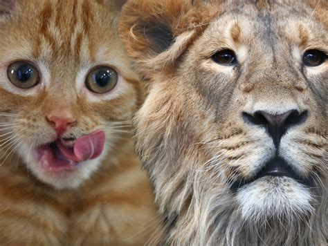 imagenes de leones que dan miedo leones www imgkid com the image kid has it