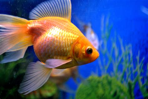 domain images gold fish tank domain pictures