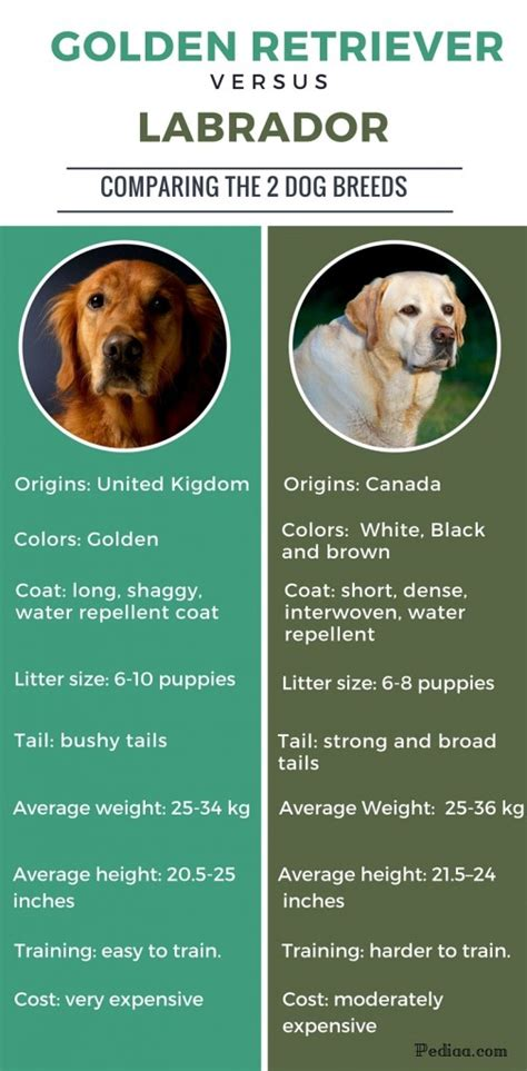 labrador golden retriever difference difference between labrador and golden retriever clickspay ru