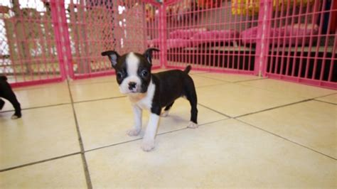 boston terrier puppies for sale in ga stunning boston terrier puppies for sale near atlanta ga at puppies for sale local