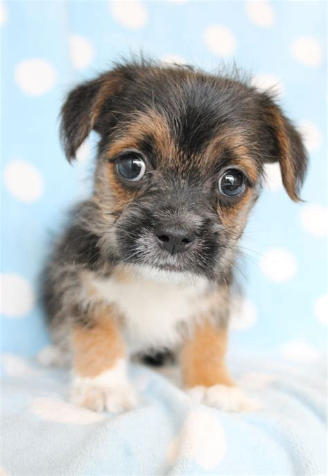 puppy adoption south florida small breed family dogs breeds picture