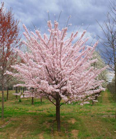 akebono cherry halka nurseries
